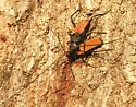 Long-horned Beetles - Tragidion coquus - male - female