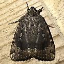 Amphipyra pyramidoides