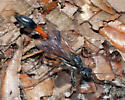 What's for lunch? - Ammophila procera