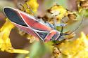Seed Bug? - Neacoryphus bicrucis