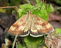 5055 - Pyrausta homonymalis