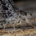 Unknown Mayfly - Callibaetis