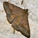 Unknown Geometridae - Mocis disseverans