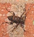 camel cricket? - Graphisurus fasciatus
