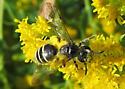 Black Andrena - Andrena nubecula