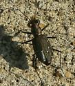 Tiger beetle, Cincindela punctulata - Cicindela punctulata