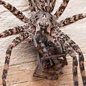Dark FIshing Spider with Prey - Dolomedes tenebrosus
