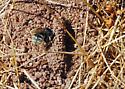 Who's doing what here? Diadasia nesting. - Diadasia