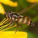 Syrphinae ? - Megasyrphus laxus - female