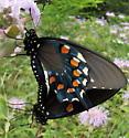 Pipevine Swallowtail - Battus philenor - male - female