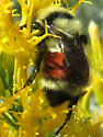 yellow-red-yellow-black bumblebee - Bombus huntii