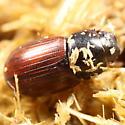 Horse poop aphodiine - Aphodius tenellus