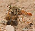 undescribed species - Rhaphiomidas - male