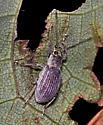 Weevil unknown - Cyrtepistomus castaneus