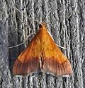 801519 – 5040 – Pyrausta bicoloralis – Bicolored Pyrausta - Pyrausta bicoloralis