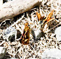 Unknown skippers  - Poanes melane