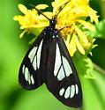 Police Car Moth, 8037 - Gnophaela vermiculata