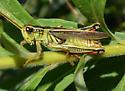 Melanoplus bivittatus? - Melanoplus bivittatus - male