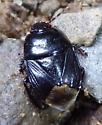 black burrowing bug - Pangaeus bilineatus