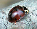 Fifteen-spotted Ladybeetle - Anatis labiculata