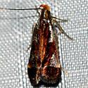 Shining Dichomeris Moth - Dichomeris ochripalpella