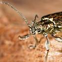Golden Beetle - Plateumaris