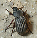 Stenomorpha mckittricki - female