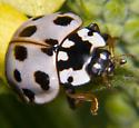 15 Spot Lady  Beetle  - Anatis labiculata