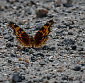 Brown Butterfly - Nymphalis l-album
