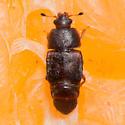 Carpophilus lugubris - Dusky Sap Beetle? - Carpophilus lugubris