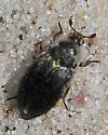 Fringed Larder Beetle - Dermestes frischi