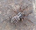 Pardosa prosaica or Pardosa podhorskii or Pardosa tesquorum? - Alopecosa pictilis