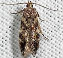 moth - Glauce pectenalaeella - female