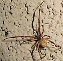 Brown Widow - Latrodectus geometricus - female
