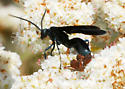 Spider Wasp on Buckwheat #1 - Pepsis mexicana - male