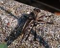 Robber fly female - Promachus bastardii - female