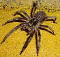 large wolf spider with young on back