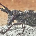 Longhorn Beetle Identification - Monochamus clamator