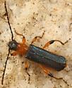 longhorn beetle - Callimus cyanipennis - female
