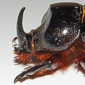 Rhinoceros Beetle - Xyloryctes jamaicensis