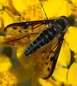 Thevenetimyia affinis - male