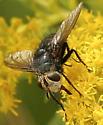 White faced fly - Archytas metallicus