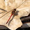 Red November - Sympetrum vicinum - male