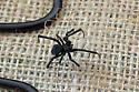 Spider ID? - Latrodectus hesperus