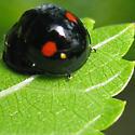Twice-stabbed Lady Beetle - Chilocorus kuwanae - male - female