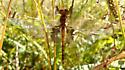 dragonfly - Tramea onusta