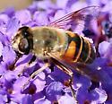 Syrphid Flies Eristalis tenax  - Eristalis tenax - female