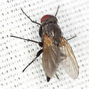 Fly - Opsodexia grisea