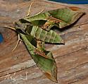 Eumorpha pandorus (Pandorus Sphinx - Hodges#7859) - Eumorpha pandorus