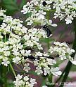 tiny thin wasp - Gasteruption